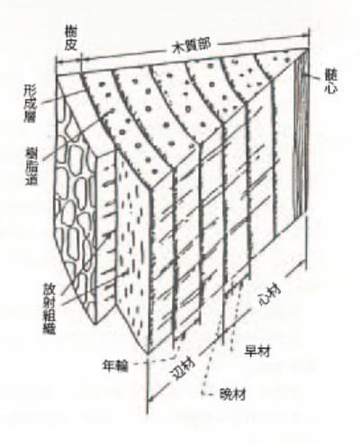 樹体の構造
